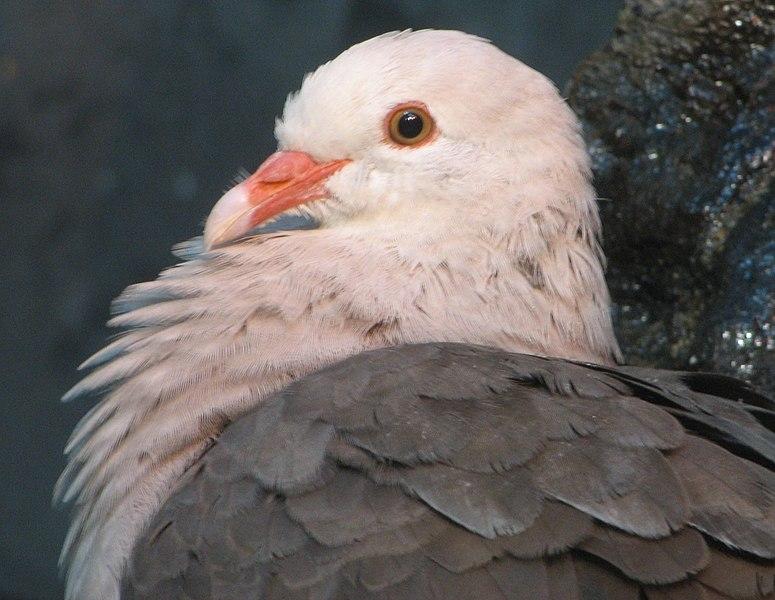 File:Pink Pigeon Image 004.jpg