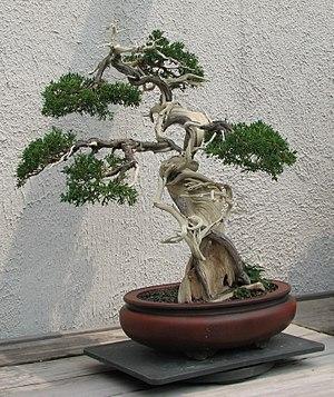 A Sargent Juniper (Juniperus chinensis var. sa...