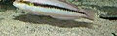 Slippery Dick Wrasse - Halichoeres bivittatus.jpg