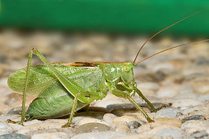 English: Tettigonia cantans is one of the bigg...