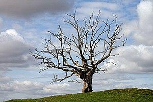 English: A dead elm tree at Nenthorn A Dutch e...