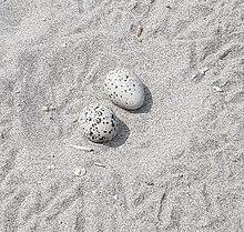 American oystercatcher eggs
