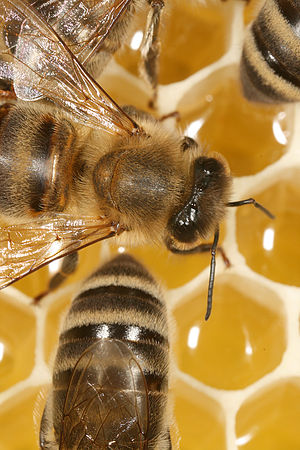 Description: The Carniolan honey bee (Apis mel...