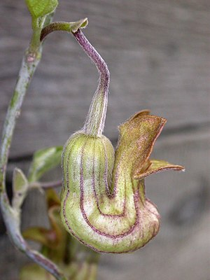 ''Aristolochia californica (Dutchman's pipe)