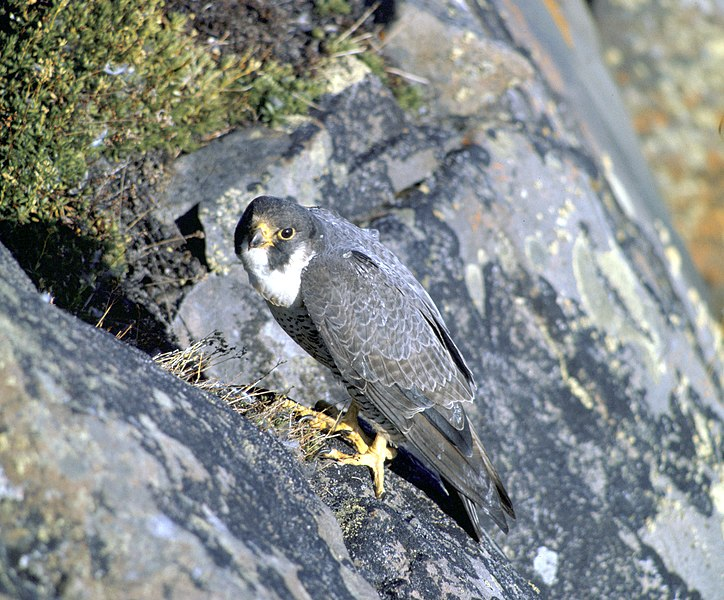File:Falco peregrinus nest USFWS.jpg