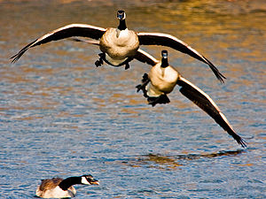 English: Canada Geese landing on water