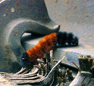 English: A Woolly Bear caterpillar, moving ove...