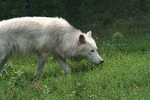 Stalking Arctic Wolf
