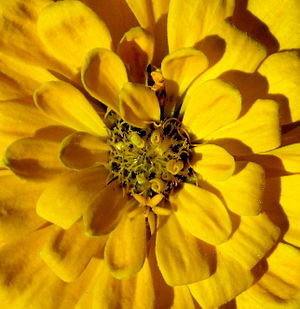 English: An unidentified yellow flower at the ...
