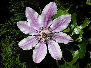 Flower of a Clematis 'Nelly Moser'.
