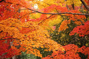English: Colorful leaves in Showa Kinen Park
