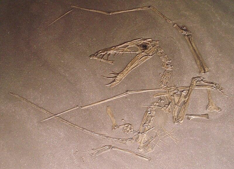 File:Dorygnathus.JPG