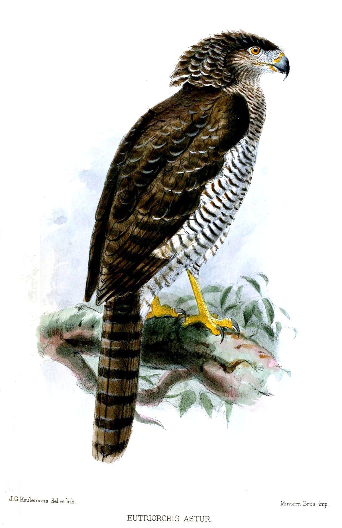 Madagascan Serpent Eagle Wikipedia