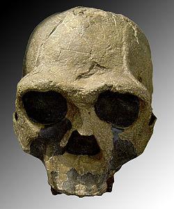 Resultado de imagen de Homo ergaster