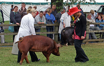 A Duroc sow being shown at The Last Royal Show