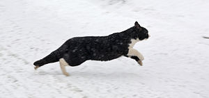 A running cat on the snow.