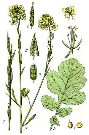 Brassica nigra (L.) K.Koch, syn. Crucifera sin...