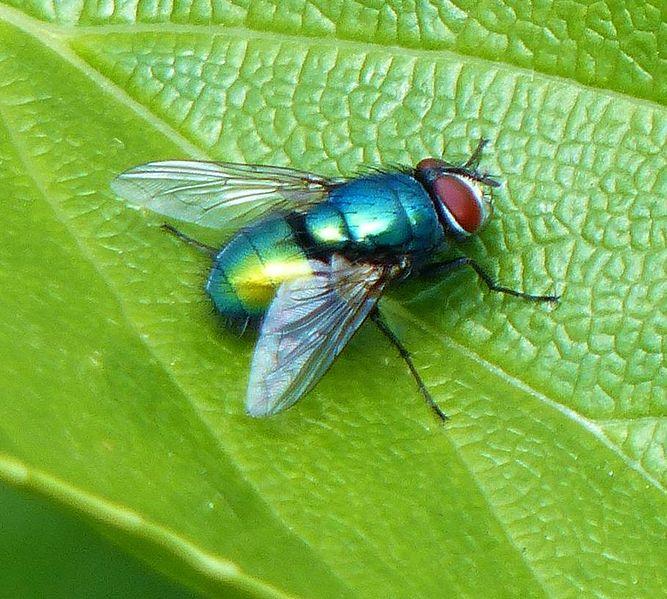 File:Green bottle fly 2013-05-26.jpg
