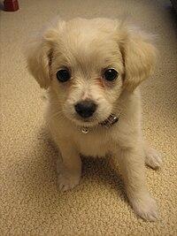 Esempio di cane cucciolo