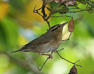 English: Worm-eating Warbler (Helmitheros verm...