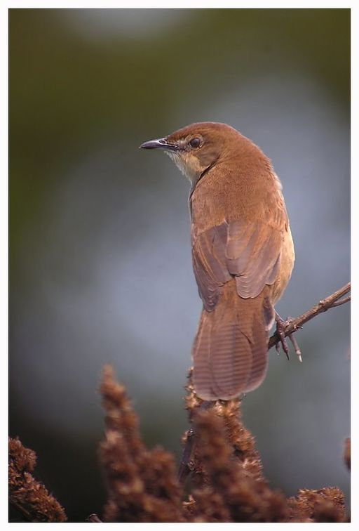 Broad-tailed Grassbird