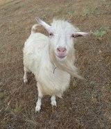 English: Domestic goat smile. Crimea, mountain...