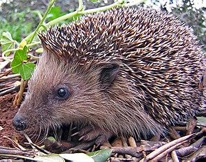 A young Hedgehog (Erinaceus europaeus). Espera...