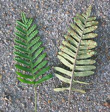 Pleopeltis Polypodioides Wikipedia