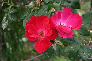 English: Rosa 'Knockout'