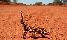 Thornydevil.jpg