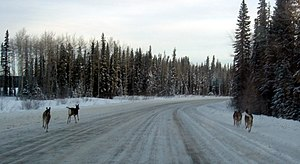 English: Deer on Winter road in Alberta, Canad...