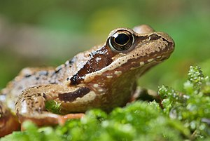 English: The Common Frog (Rana temporaria) can...
