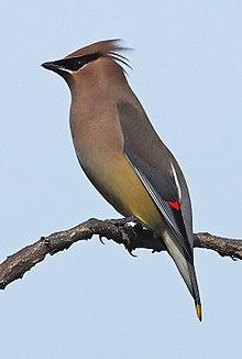 Cedar Waxwing Wikipedia