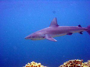 English: Galapagos shark