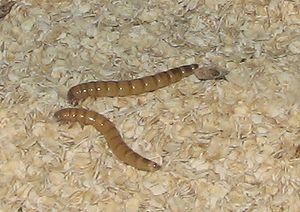 Giant Mealworms (Zophobas morio)