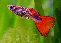 Ikan guppy, salah satu ikan akuarium terpopuler di dunia.