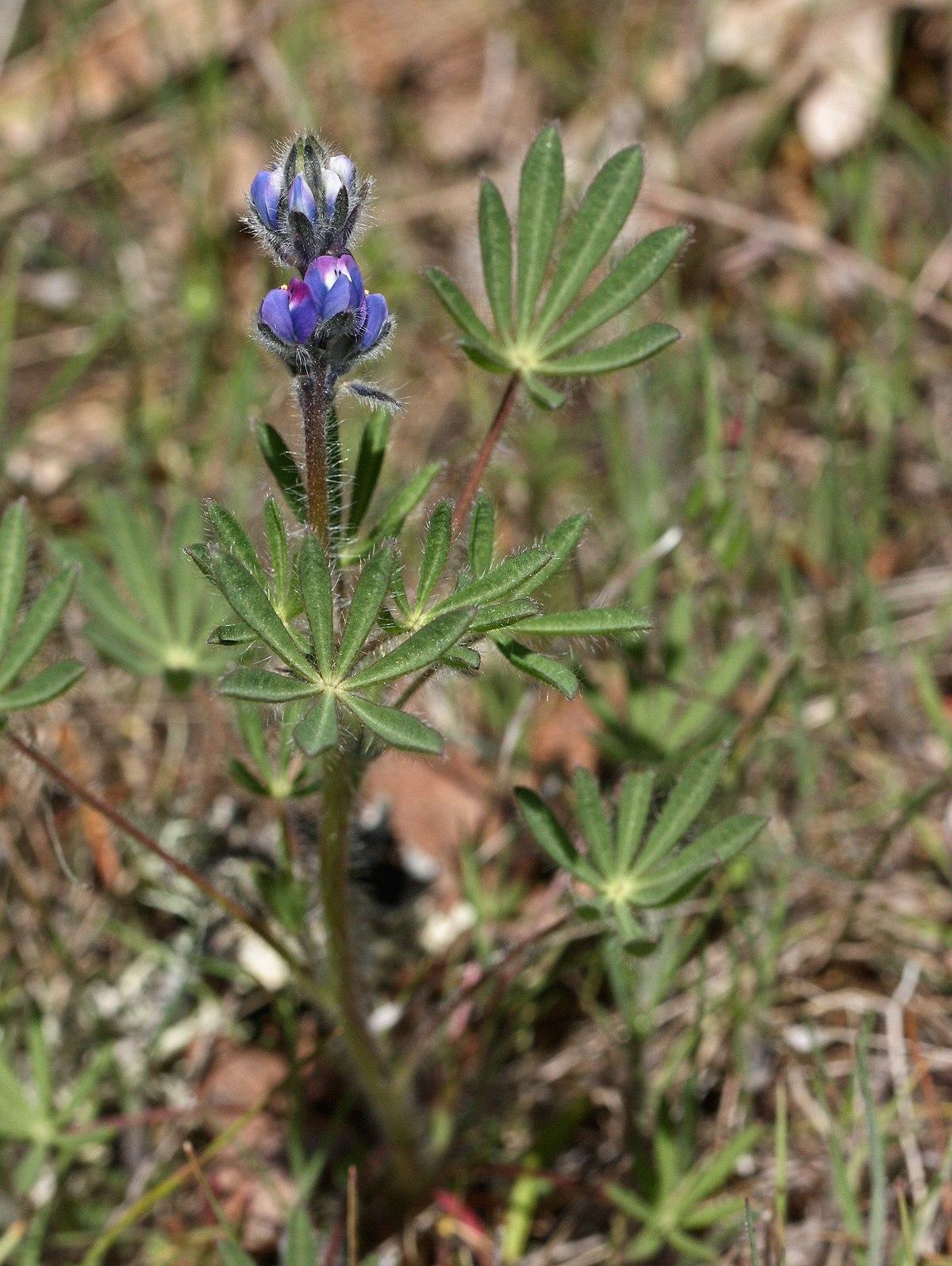 Lupinus Bicolor Wikipedia