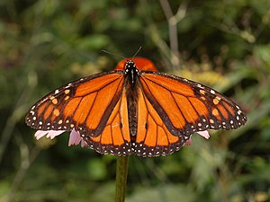 Male Monarch Butterfly, Danaus plexippus