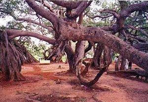 English: World largest banyan tree