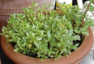 A Purslane cultivar grown as a vegetable