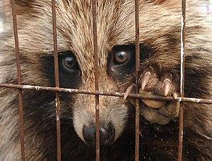 Captive raccoon dog in a fur farm