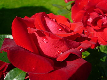 English: A red rose with dewdrops Français : U...
