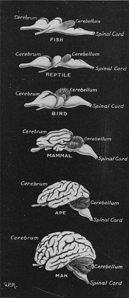 cerebros animales