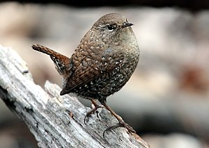 Eastern Winter Wren Troglodytes hiemalis, Cent...