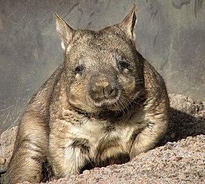 Southern Hairy-nosed Wombat (Lasiorhinus latif...