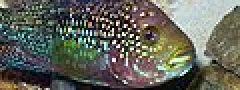 Cichlasoma octofasciata.jpg