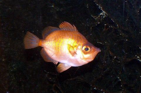 Trynfisk