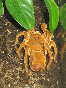 Goliath birdeater   Wikipedia The Goliath birdeater found in South America