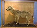 Honshu-wolf4.jpg