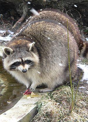 A Raccoon at Cologne Zoo Français : Un Raton L...